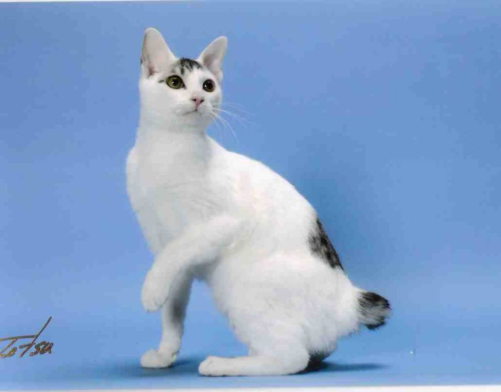 Japanese Bobtail Cat Grey